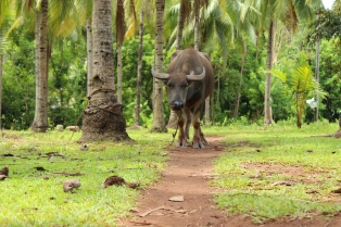 Philippine carabao | One of my personal favourites